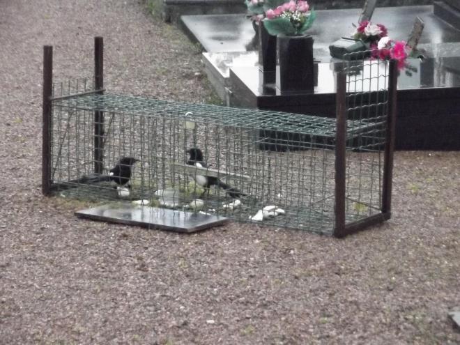 Le forum de dimension pi ge a pies et corbeaux - Piege a pigeon ...